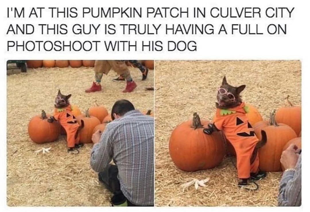 dog on a pumpkin in costume