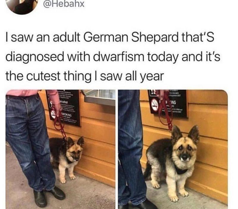 german shepherd who's a little person