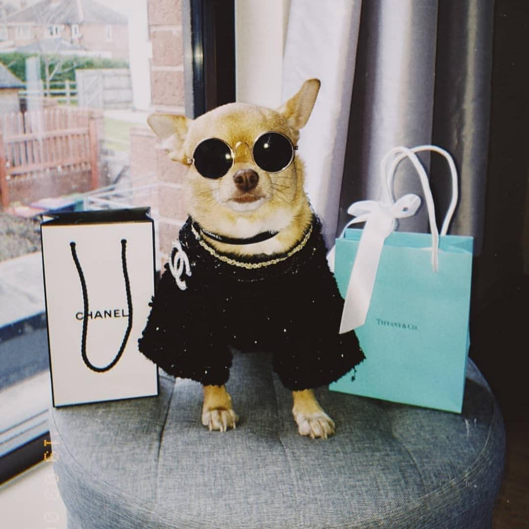 a dog sitting between a Chanel bag and a Tiffany's bag