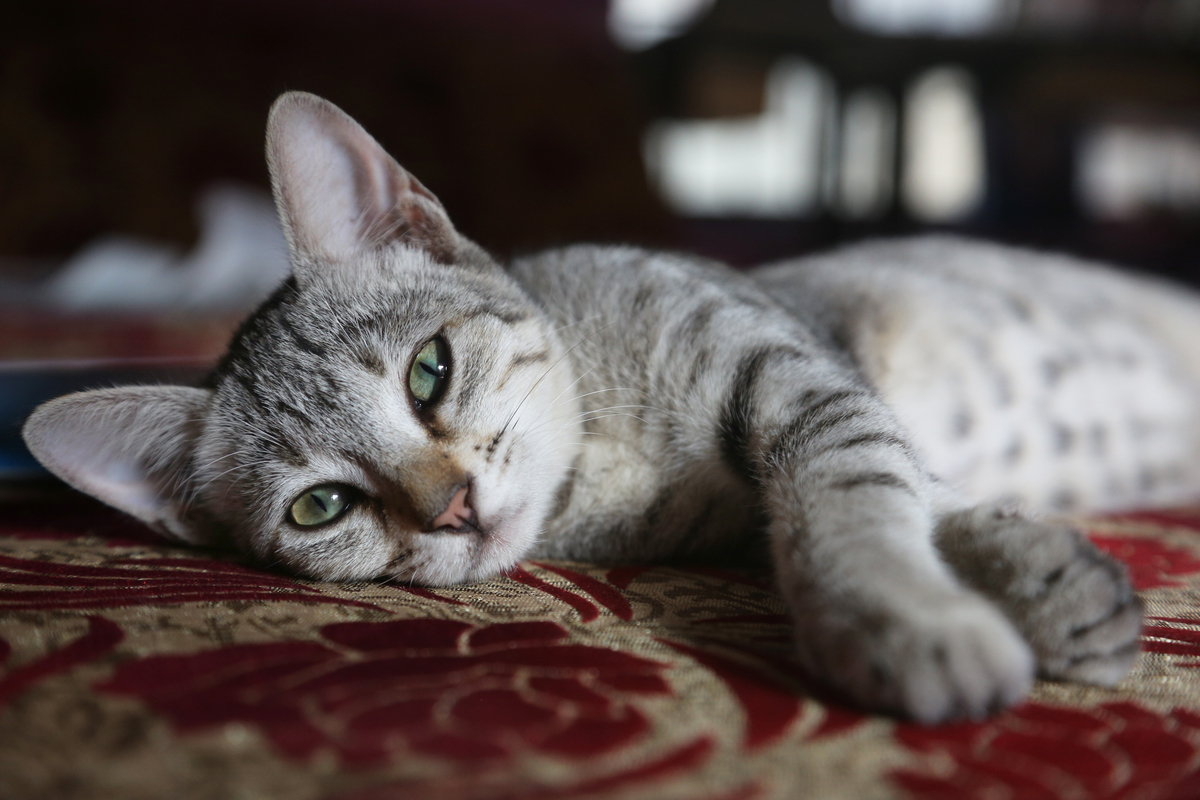 grey and white tabby cat laying on side