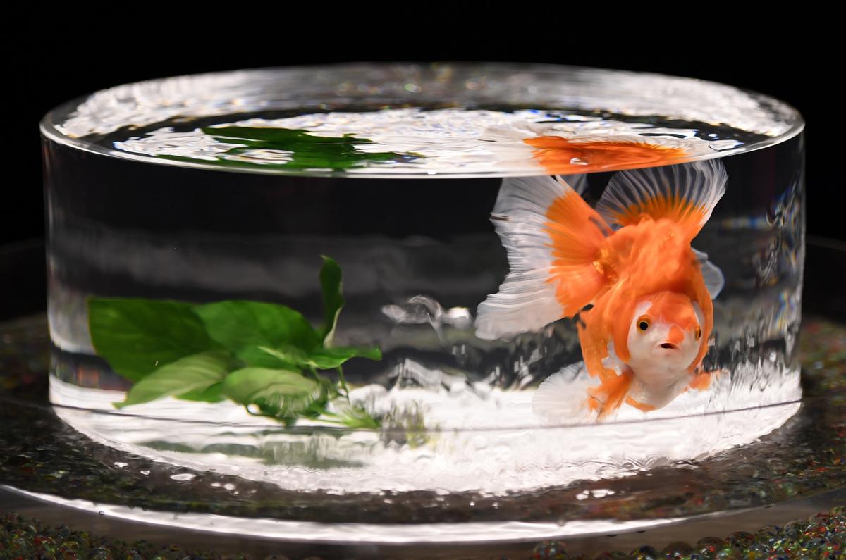 goldfish swimming in bowl