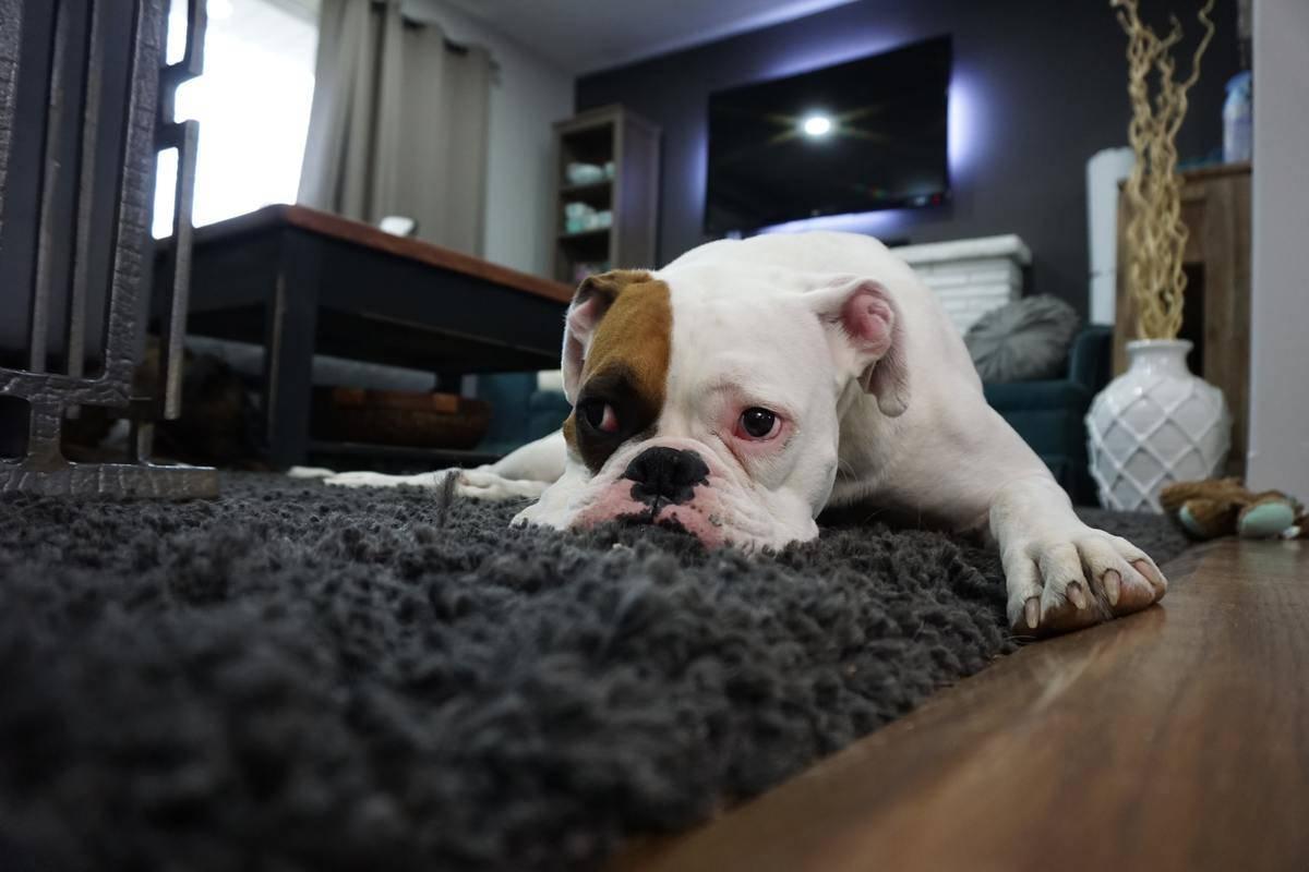 dog unimpressed on carpet