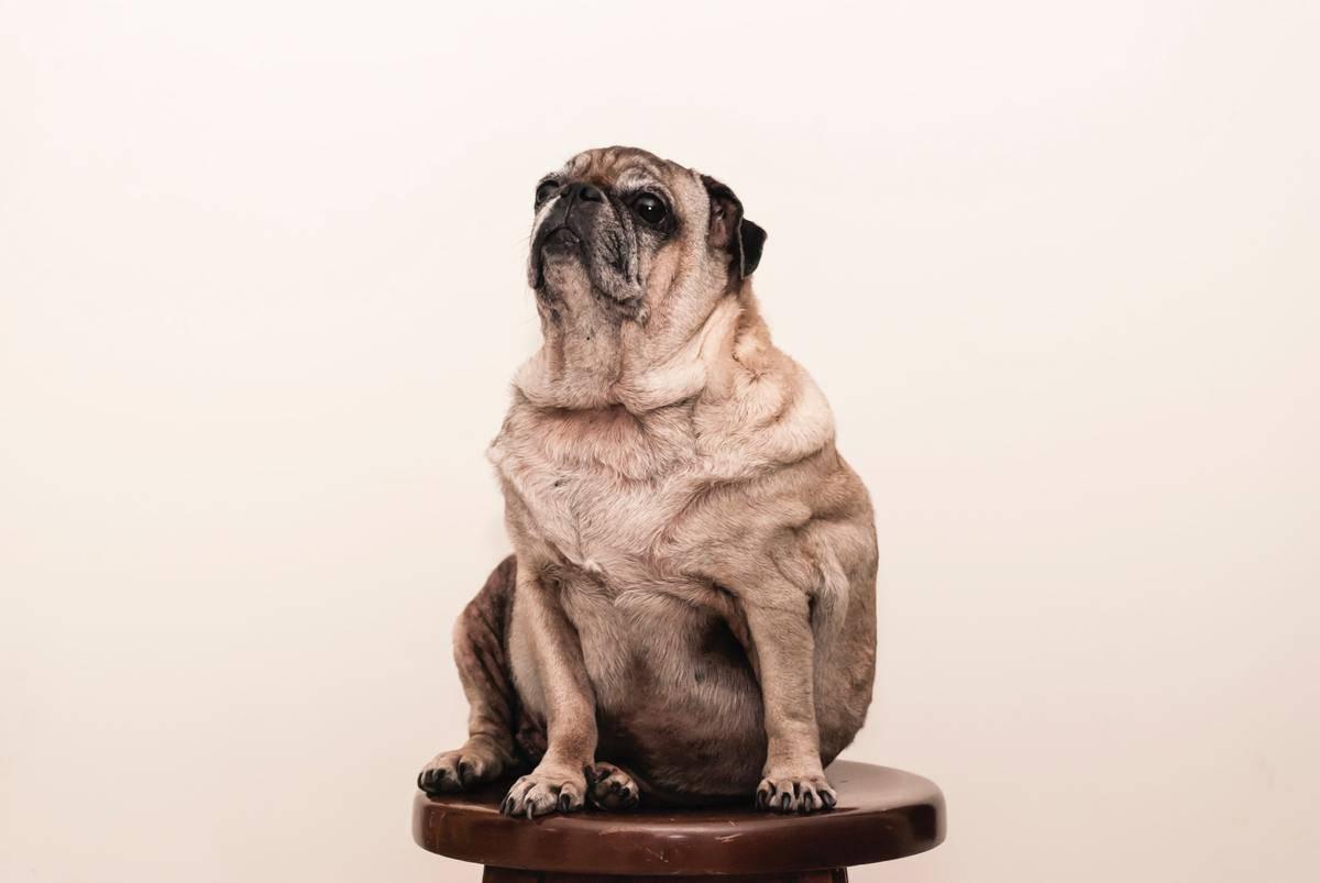 Fat dog on stool