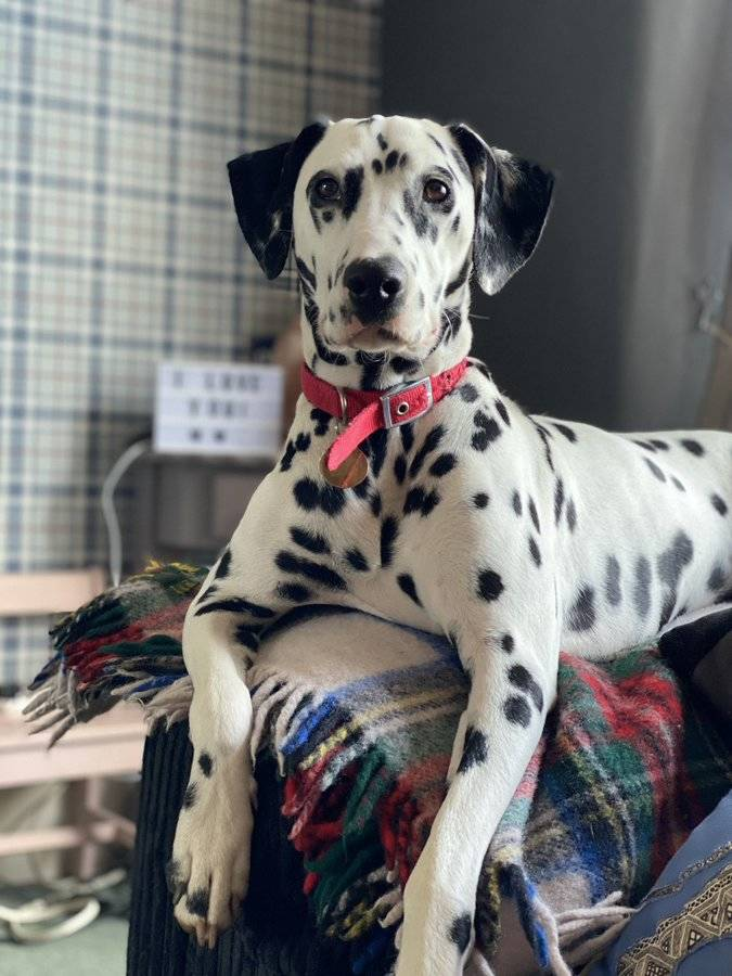 dalmation looking handsome