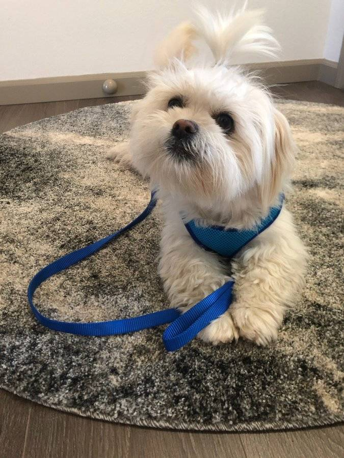 fluffly dog with blue leashes