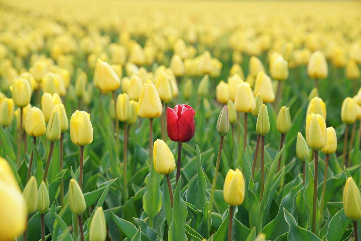 rred flower stands out among yellow flowers