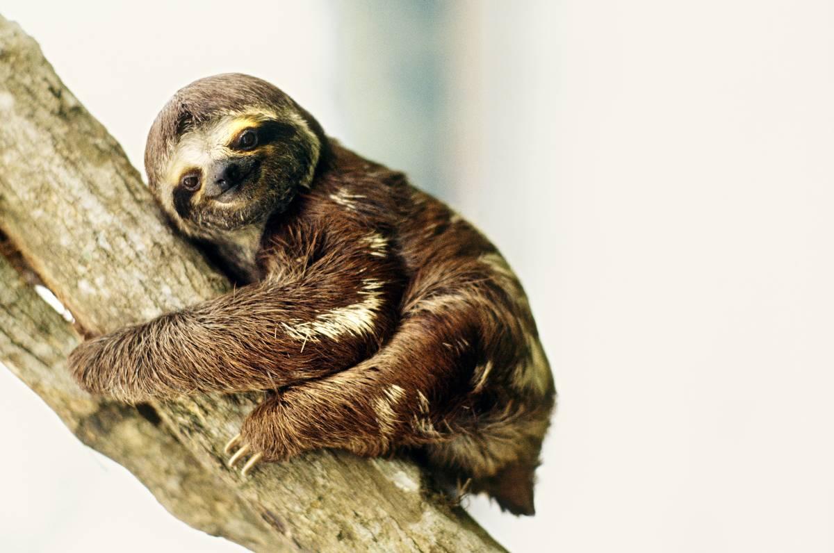 Three-Toed Sloth, Amazon, Brazil, South America