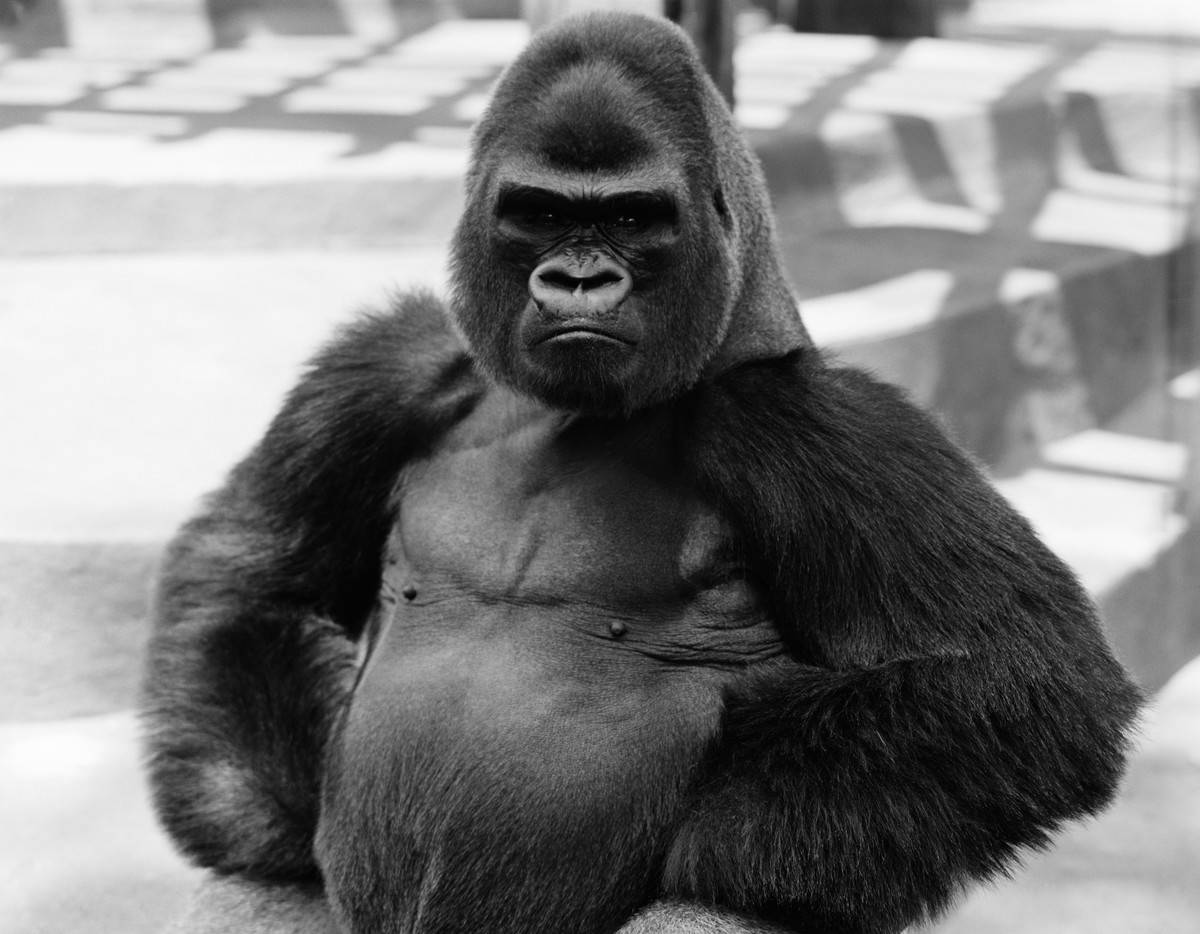 Gorilla with hands on hips, frowning.
