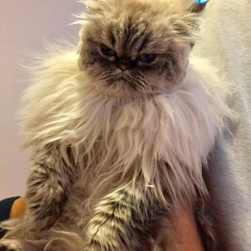 boyfriend gave his girlfriend's cat a haircut and the cat hates it