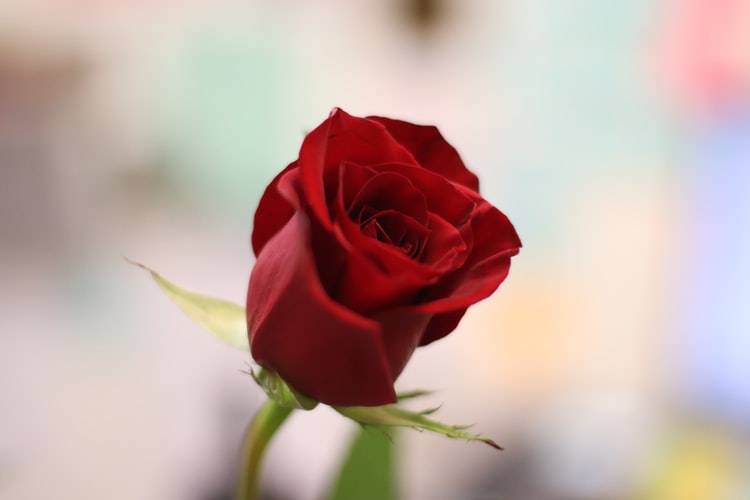 close up shot of a red rose with a blurred background