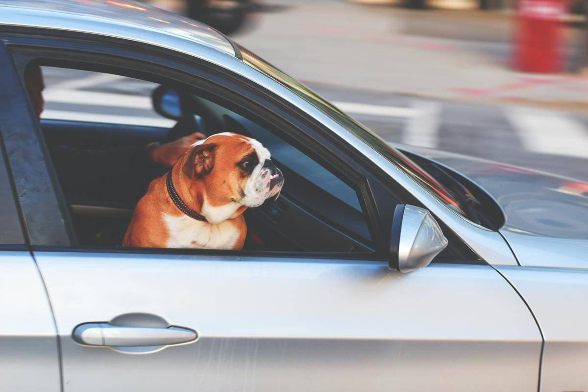 bulldog hanging out open car window