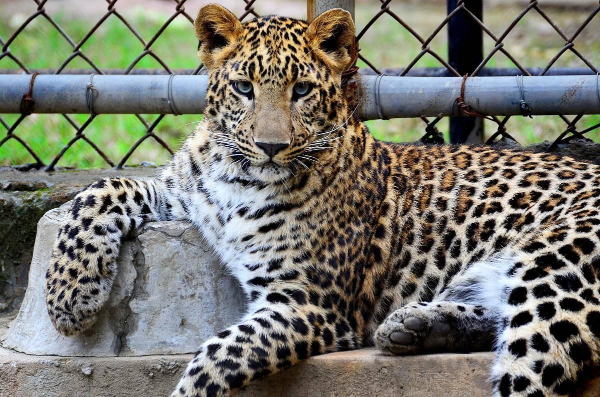 jaguar posing on rock at zoo