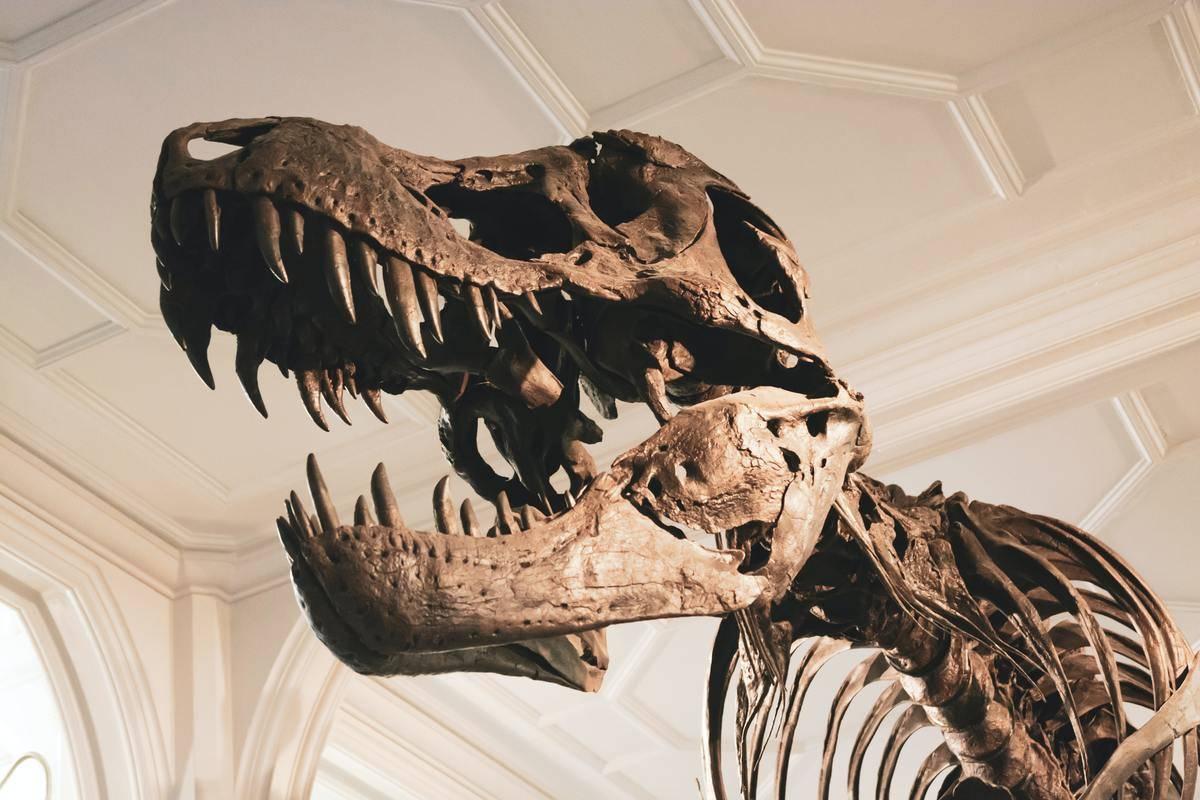 T-rex skeleton in a museum
