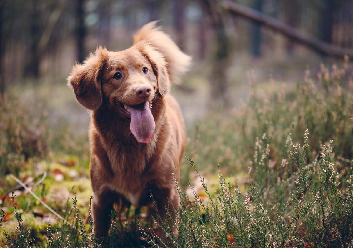 Happy dog wagging its tail and smiling in a field
