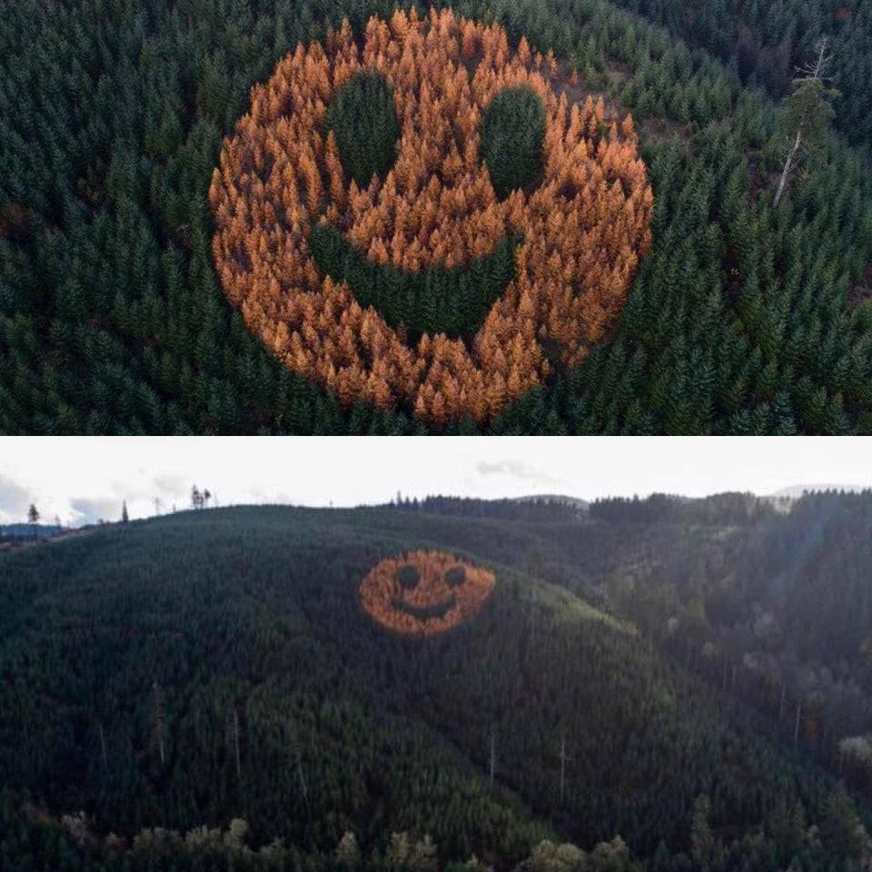 Planted trees in a forest that turn orange every fall, and looking like a smiley face