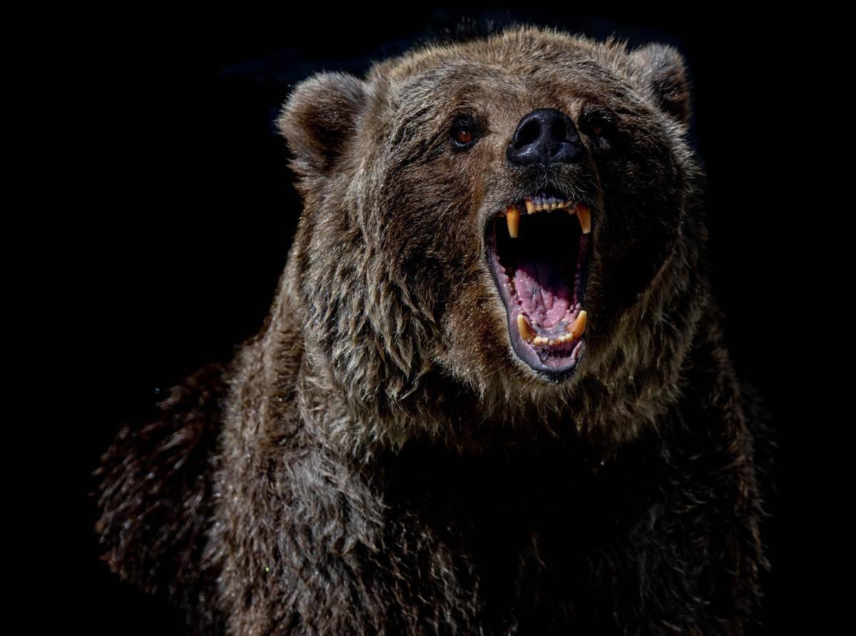Growling and angry brown bear