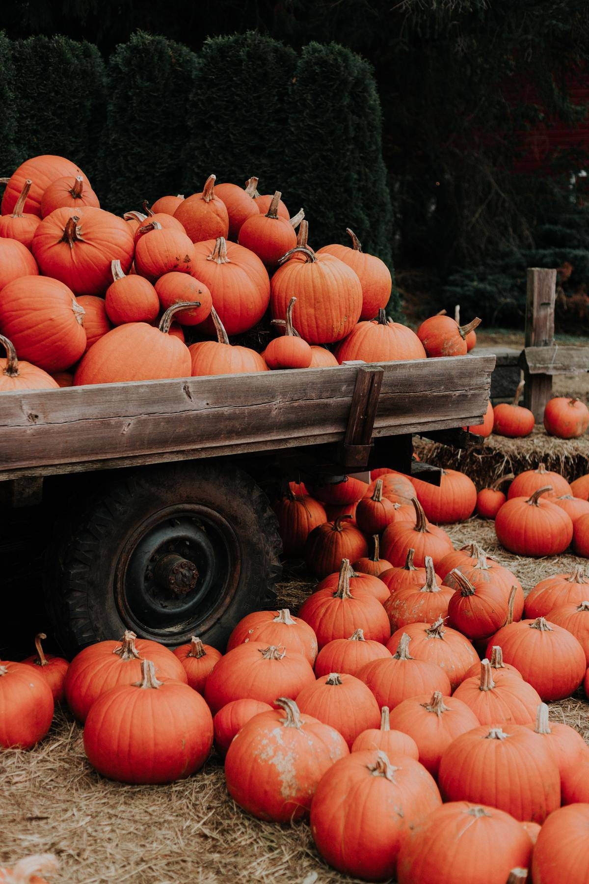 Pumpkin patch with truck bed full