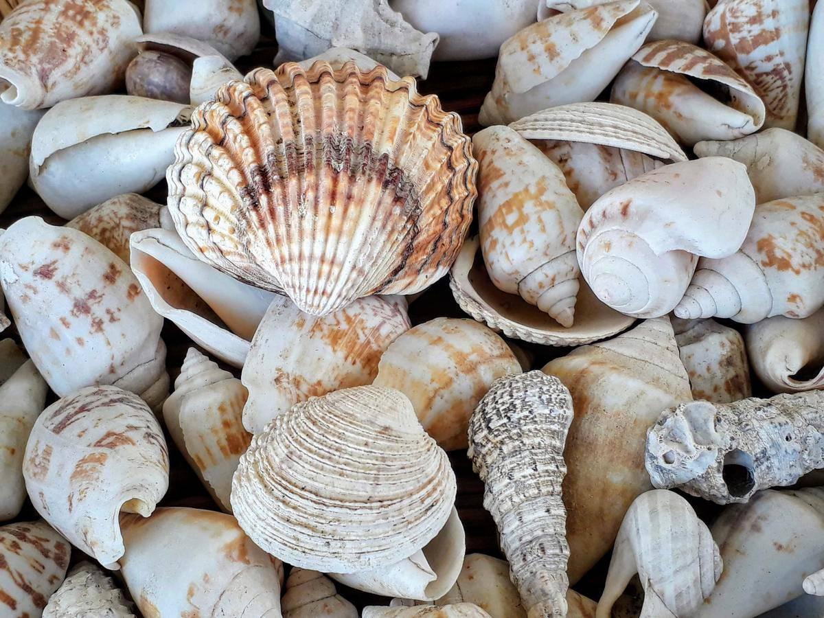 Large cluster of seashells
